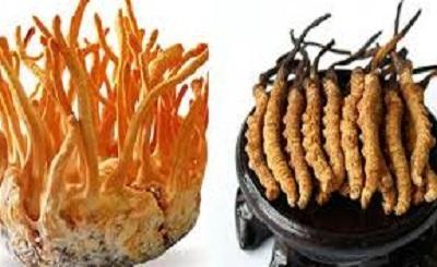 Sự khác nhau giữa đông trùng hạ thảo tự nhiên và nuôi cấy