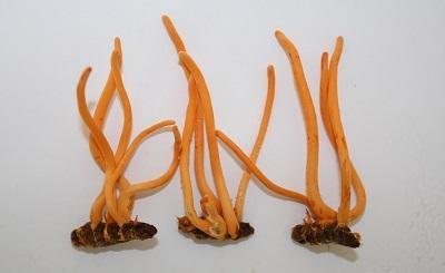 Khả năng sinh lý có cải thiện khi dùng đông trùng hạ thảo?