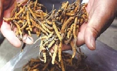 Những lưu ý khi chọn mua đông trùng hạ thảo