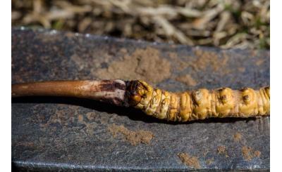 So sánh đông trùng hạ thảo nuôi cấy với đông trùng hạ thảo tự nhiên?